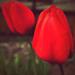 fanfán tulipán