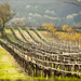 jarne vinice