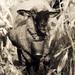 Ovca v kukurici