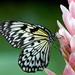 Motyl velky:)
