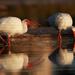 Ibis bílý