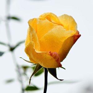 Novembrová ruža 2