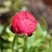 Spiaca ružička
