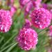 Ružové guličky