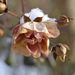 Zasnežená ružička