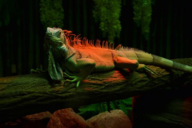 Leguan zeleny