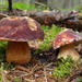 Boletus pinophilus/hríb sosnový