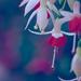 Fabulous Fuchsia