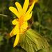 Žltáčik rešetliakový