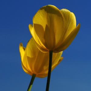 Nebo,slnko,tulipány