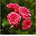 Ružičky...