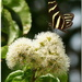 Heliconius charithonia - iná póz