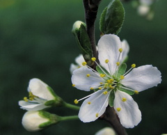 Už kvitnú jablone