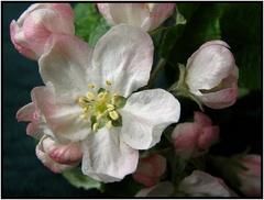 Už kvitnú jablone (2)