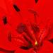 Červená ľalia