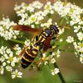 Osa dravá ( Polistes gallicus )