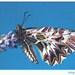 Zerynthia polyxena z profilu