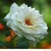 Biela v kvetinovom záhone