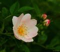 Šípová ruža