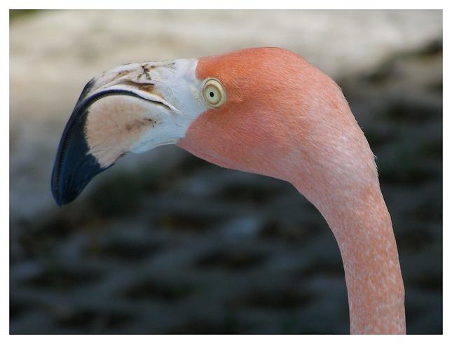Veľký zobák,dlhý krk