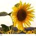 Kvet slnka