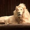 Lev juhoafrický