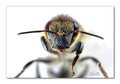 Včielka Mája