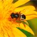 Fčela...