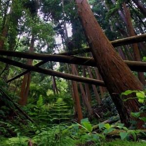 Sekvojový prales