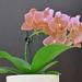 Orchidea - upravene foto