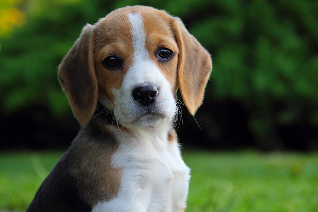 Bigi, The Beagle