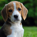 Bigi, The Beagle