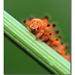Pestroň vlkovcový (Zerynthia pol