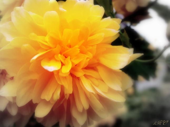 Žltá kvetina