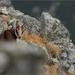 Zahľadené kozliatko tatranské