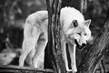 Arctic Wolf (Vlk bezfarebny)