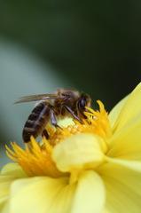 Včeličková