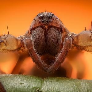 Arachno III.