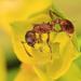 mravček prieskumák