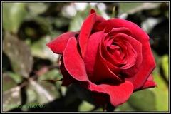 Peruánska ruža