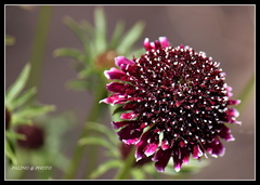 Kvet prérie