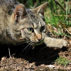 keď mačka divá loví...