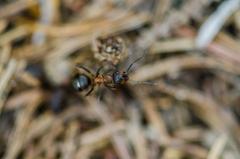 mravček