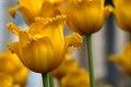 tulipan zlty
