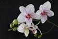 orchidea straciatela