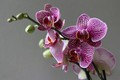 orchidea tigrovana