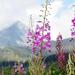 ružové kvetinky z Tatier