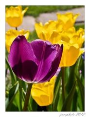 Tulipánová 4