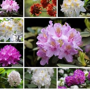 Dni rododendronov