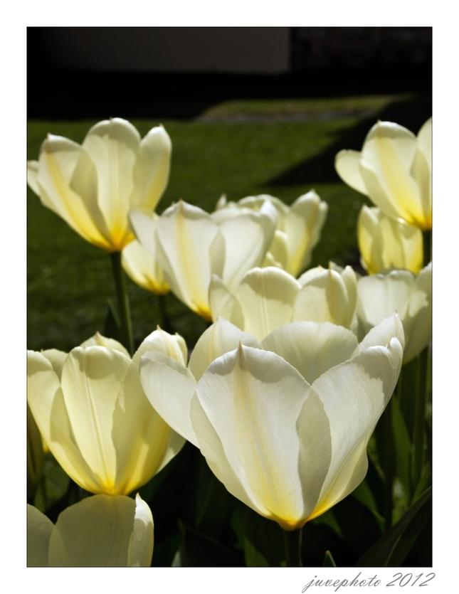 Tulipánová 2